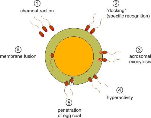 Sperm motility - Wikipedia